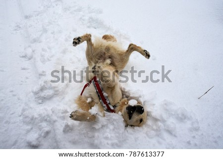 Golden Retriever dog playing on the snow