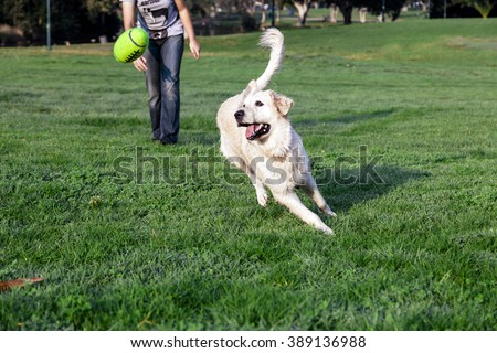 Golden Retriever dog playing with his yellow plush footbal on the park's lawn. - stock photo