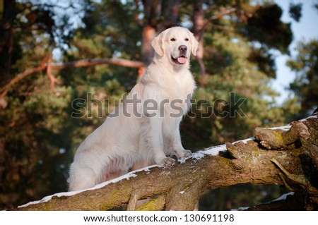 golden retriever dog portrait in the forest - stock photo