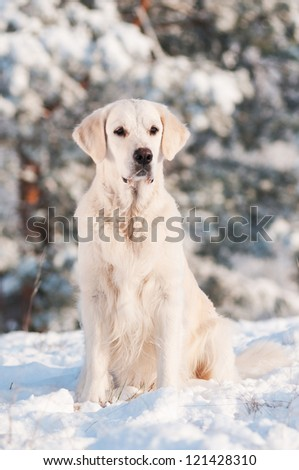 golden retriever dog portrait in winter - stock photo