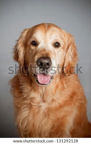 Golden retriever dog posing in studio. Gray background. - stock photo