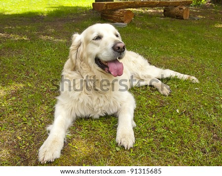 Golden retriever dog posing in the garden