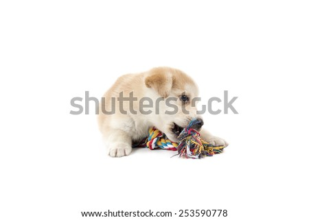 Golden retriever dog puppy playing with his toy against a white background - stock photo