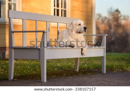 golden retriever dog resting on a bench