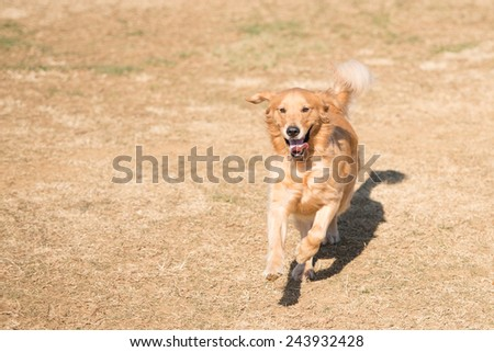 Golden retriever dog running in the field  - stock photo