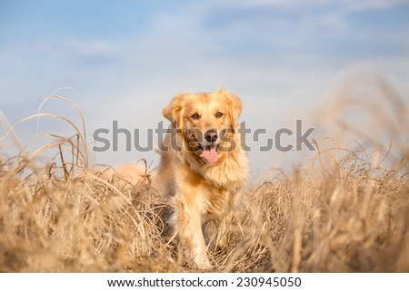 Golden retriever dog running outdoor - stock photo