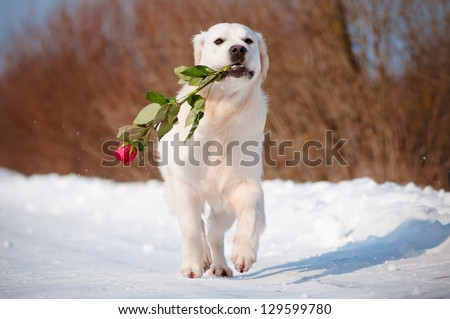 golden retriever dog runs with a rose in its mouth - stock photo
