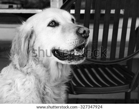 golden retriever dog sitting and waiting near a chair - stock photo
