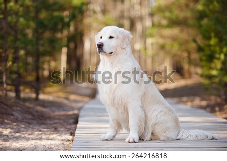 golden retriever dog sitting on wooden road - stock photo