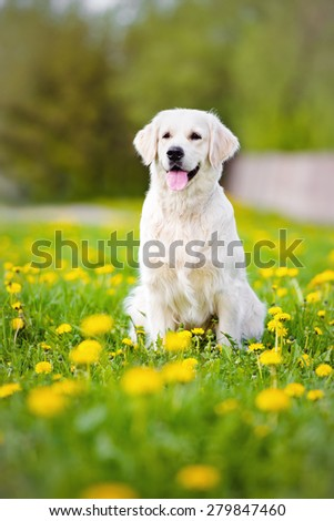 golden retriever dog sitting outdoors in summer - stock photo