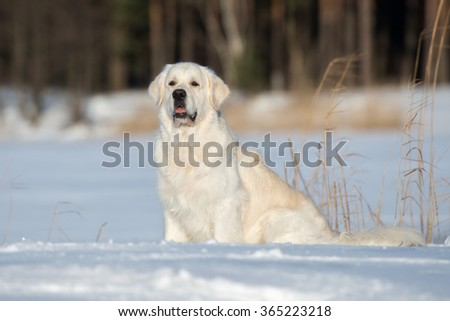 golden retriever dog sitting outdoors in the snow - stock photo
