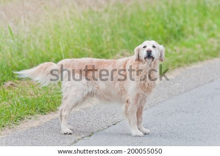 golden retriever dog standing on the wayside waiting for its owner - stock photo