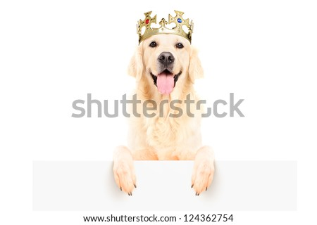 Golden retriever dog wearing crown and standing on a blank panel isolated on white background - stock photo