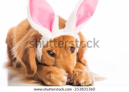 Golden Retriever Dog wearing easter bunny ears hiding in shame and embarrassment