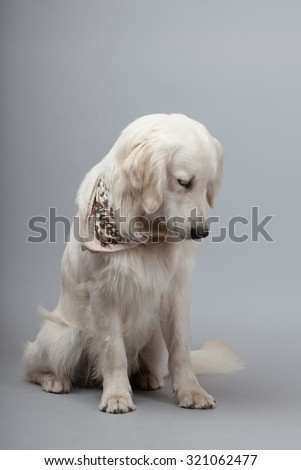 Golden Retriever Dog (white) sitting in front of grey background.