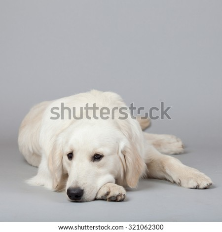 Golden Retriever Dog (white) with trace laying on grey background. Isolated studio shot.