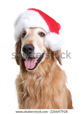 Golden Retriever Dog with a Santa Hat on for Christmas - stock photo