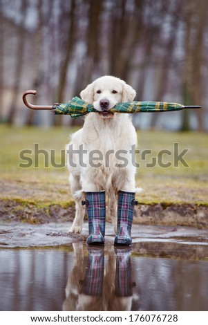 golden retriever dog with an umbrella  - stock photo