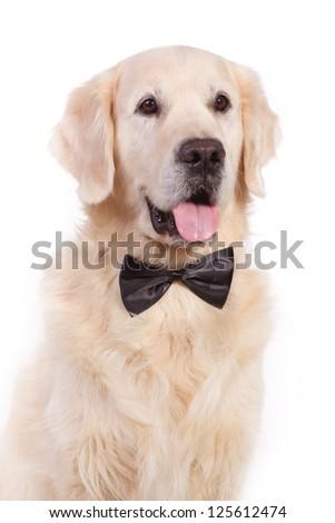 Golden retriever dog with bow tie - stock photo