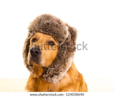 Golden retriever dog with funny winter fur cap portrait - stock photo