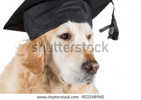 Golden Retriever dog with graduation cap and white background - stock photo