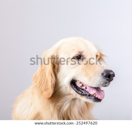 golden retriever dog with  white background - stock photo