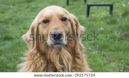 Golden Retriever dog without leash outdoors in the nature on a cloudy day. - stock photo