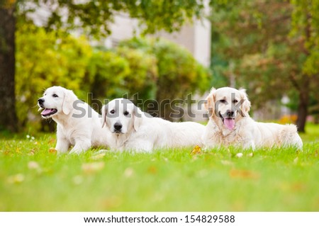golden retriever dogs - stock photo