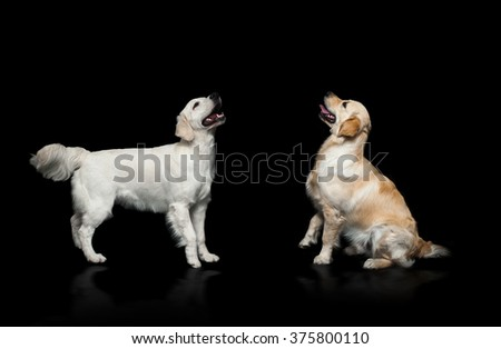 golden retriever dogs placing over a black background: one is sitting and one is standing