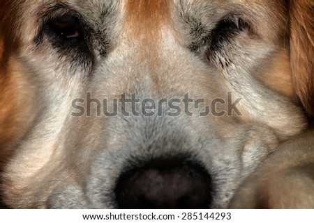 Golden Retriever dosing off.