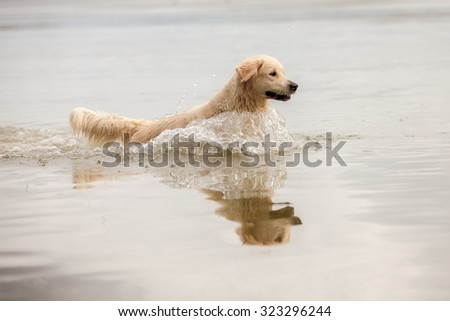 Golden Retriever enjoying the outdoors and swimming in a lake