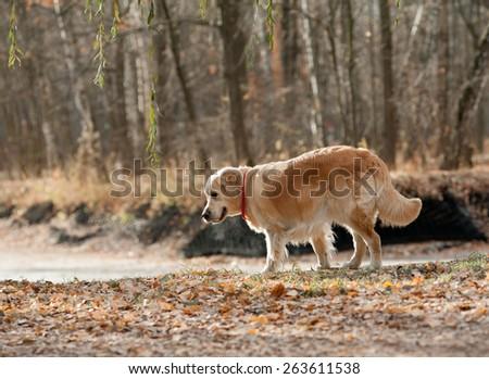 Golden retriever having a walk in the park - stock photo