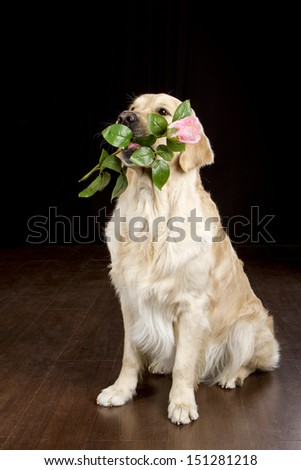 Golden retriever holds a flower in his mouth - stock photo