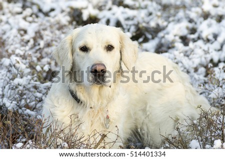 golden retriever in a meadow covered with snow at golden hour