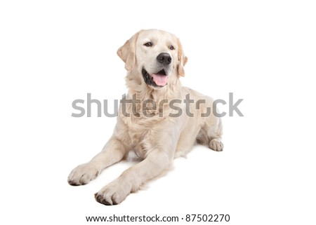 golden retriever in front of a white background