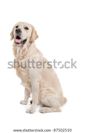 golden retriever in front of a white background - stock photo