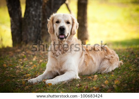 Golden retriever in outdoor settings - stock photo