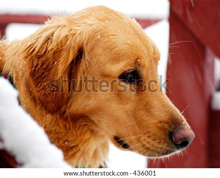 Golden Retriever in Snow