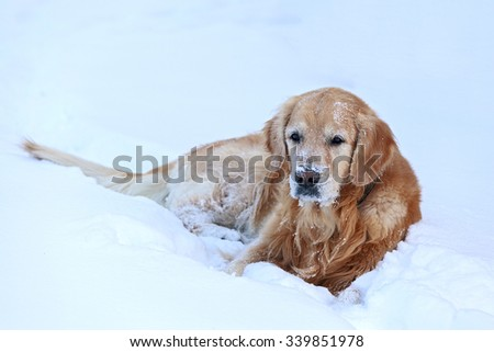 Golden Retriever in the snow - stock photo