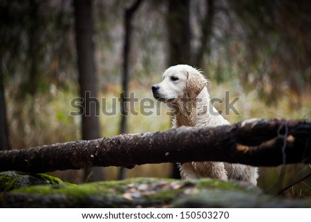 Golden Retriever in the woods, the lake, the dog on the nature