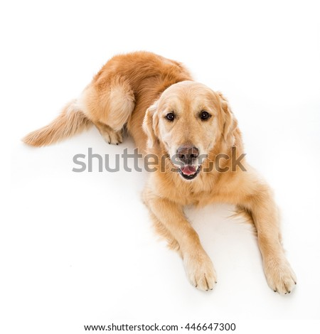 golden retriever in white studio
