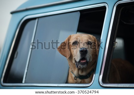 Golden Retriever is lonely at the window. - stock photo
