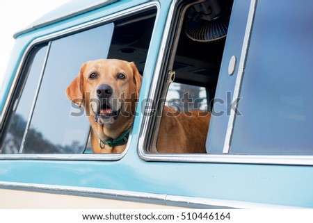 Golden Retriever is lonely looking out at the truck window, vintage tone