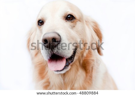 golden retriever isolated