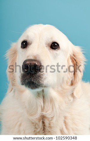 Golden retriever isolated on light blue background. Studio shot.