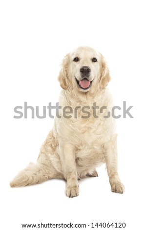 Golden Retriever isolated over white background - stock photo