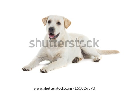 Golden Retriever isolated over white background