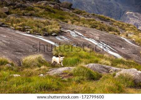 Golden Retriever jumping on rough terrain in at the foot of the Black Cuilin, Isle of Skye, Scotland - stock photo