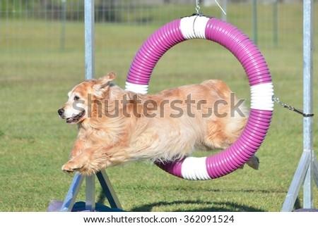 Golden Retriever Jumping Through a Tire at a Dog Agility Trial - stock photo
