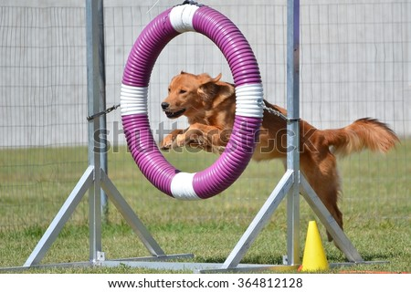 Golden Retriever Jumping Through a Tire at a Dog Agility Trial - stock photo